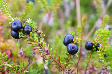 Empetrum. Fresh berries crowberry on swamp. Close up view