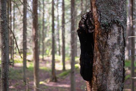 Chaga mushroom on the tree trunk. Close up view