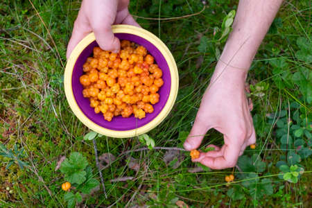 Female hand gathering cloudberries in a bowl. 写真素材