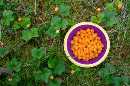 A bowl with fresh cloudberries. Collecting berries on a swamp.