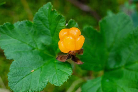 Cloudberries, wild berry from the arctic region.