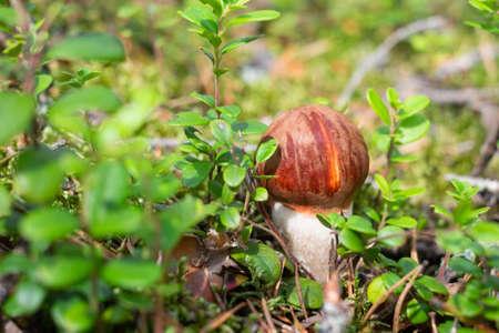 Mushroom Leccinum Aurantiacum with orange caps at the forest