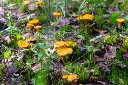 Chanterelle or Cantharellus cibarius in the grass