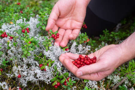Ripe red lingonberry, partridgeberry, or cowberry grows in forest at autumn.