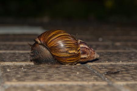 edible snail: snail crawling mollusk