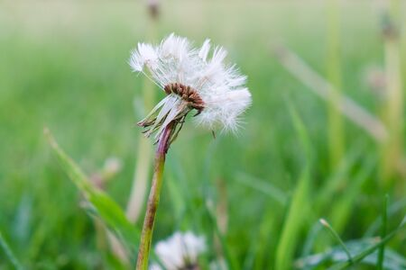 white dandelion on a green field on a summer day after covid-19