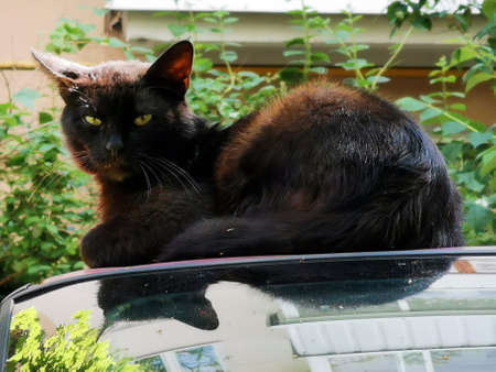 Black homeless cat, basking on the roof of the car Archivio Fotografico