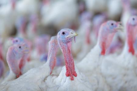 turkey feather: Turkey on a farm , breeding turkeys. Turkey isolated on the white background. Turkey. White turkey portrait. Flock of Turkeys at the farm. Stock Photo