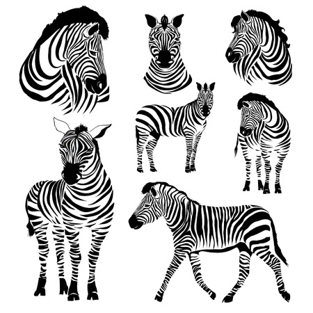 head of a zebra. Illustration