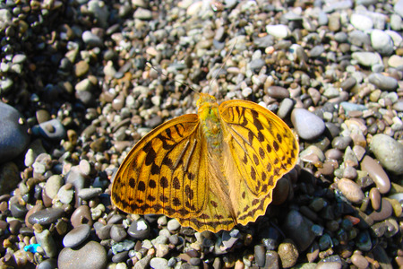beach butterfly: butterfly on pebbles of a beach in summer.