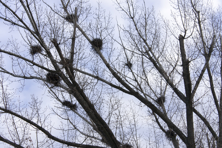 carrion: Carrion crows of a nest on branches of young birches. Spring landscape.