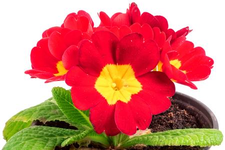 polyanthus: Red spring primroses flowers, primula polyanthus on white.