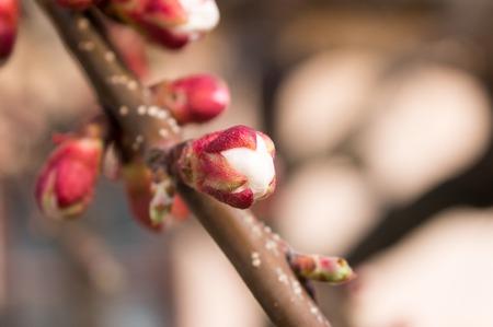 apricot tree: swollen bud apricot tree close up macro.