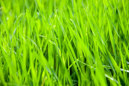 young green grass as a background close-up macro. shallow depth of field