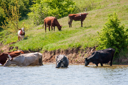 come in: cows come to drink water to the lake in village.