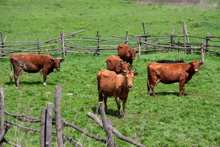 corral: Cows are grazing in the corral  village.