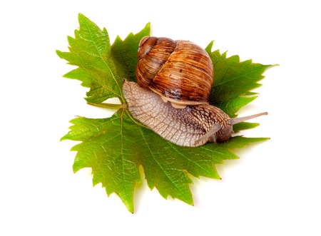 grape snail: snail crawling on the grape leaf on a white background.