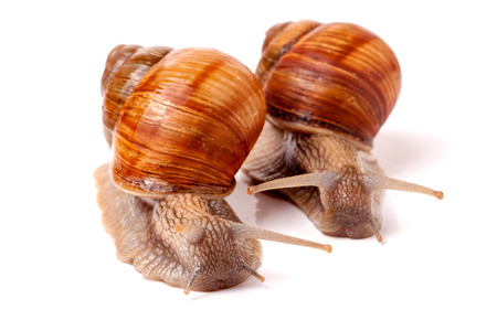 mucus: two live snail crawling on a white background close-up macro. Stock Photo