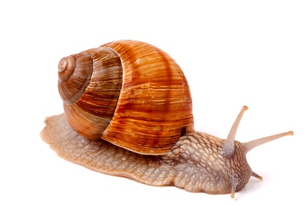 gastropod: Live snail crawling on a white background close-up macro.