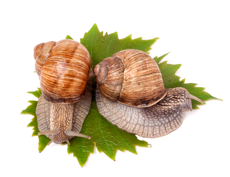 grape snail: two snails crawling on the grape leaves on a white background