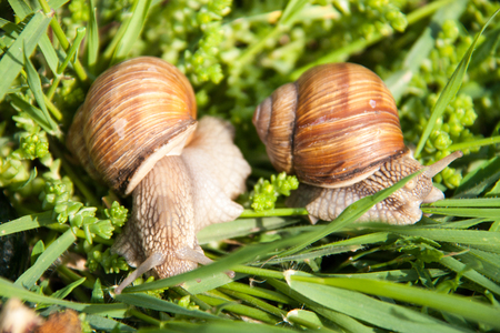 slithery: two snails are crawling in the green grass.