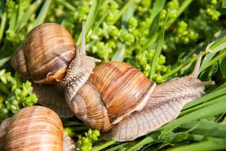 slithery: three snails are crawling in the green grass.