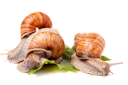 grape snail: Three snail crawling on the grape leaves on a white background. Stock Photo
