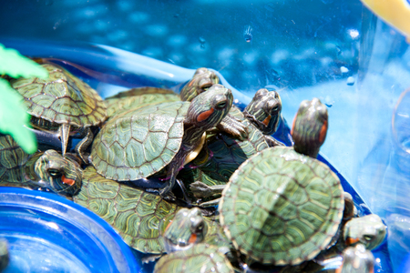 sell out: small turtles are sold in the market as pets.