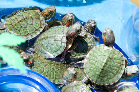sold small: small turtles are sold in the market as pets.