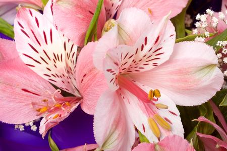 Bouquet of Alstroemeria close up macro background.
