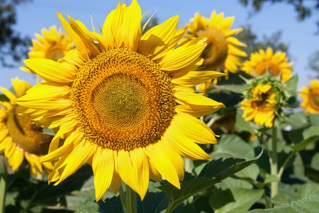 agrar: sunflowers growing in a field close up.