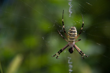 bruennichi: Wasp spider Argiope bruennichi on a web on a green background.