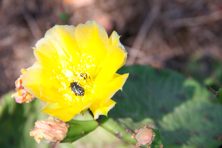 yellow cactus flower with beetle close-up macro.