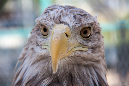 chrysaetos: Eagle head close up macro outdoors day. Stock Photo