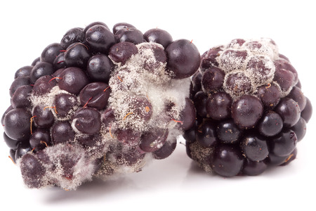 Blackberry tainted with mold isolated on white background. Stock Photo