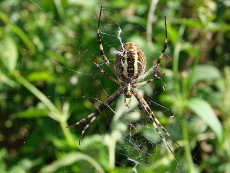 bruennichi: wasp spider sitting on a spider web on a green background.