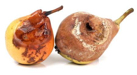 decomposed: two rotten pears isolated on a white background closeup.