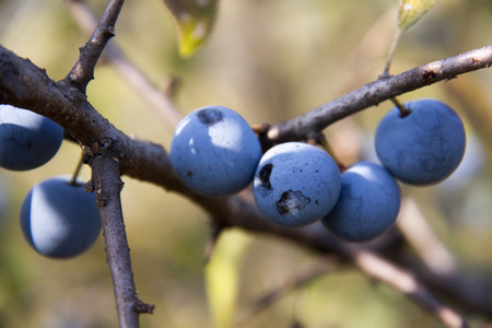blackthorn branch with berries with a blurred background.