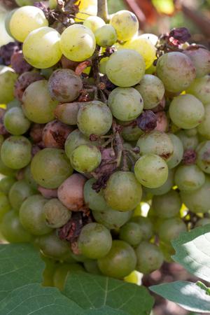 rotting: bunch of overripe rotting white grape closeup.