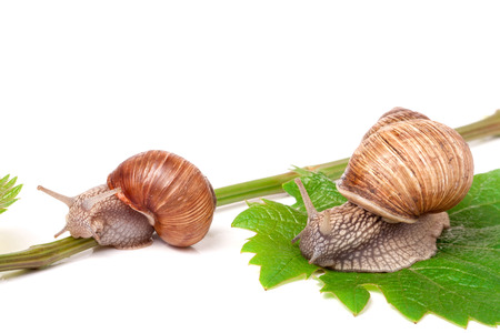 grape snail: two snails crawling on the vine with leaf on a white background.