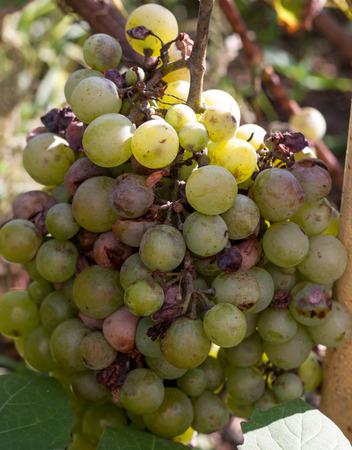 bunch of overripe rotting white grape closeup.