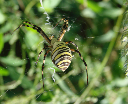 araneidae: wasp spider sitting on a spider web on a green background.