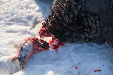 defenseless: turkey with the severed head lying in the snow