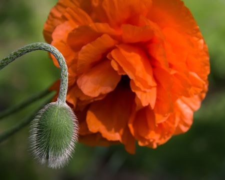 red poppy flower with a bud closeup