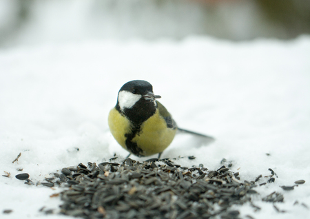 titmouse eats sunflower seeds on the snow in the winter Stock Photo