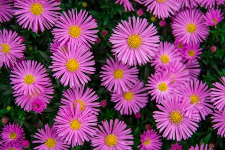 asteraceae: Autumn perennial aster purple on a green background