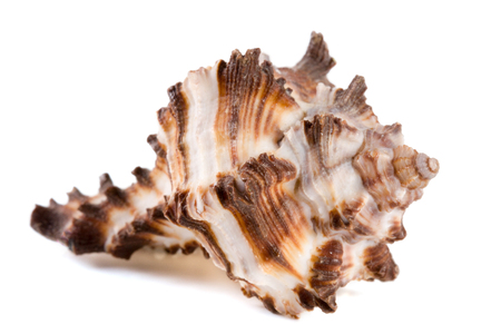 marine sea shell isolated on white background.
