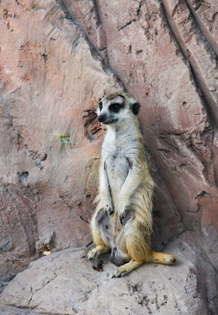 one meerkat standing on a rock and keeping lookout