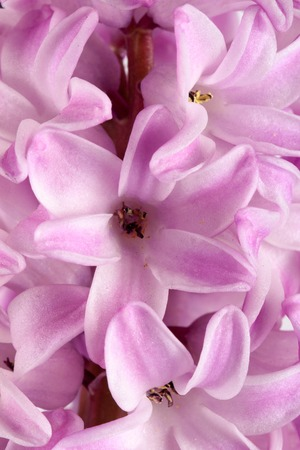 Lilac hyacinth flower close up as background