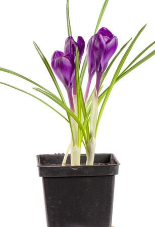 Crocus in flower pot isolated on white background closeup,